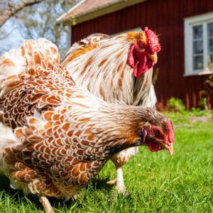 - Kyckling, Anka & Fågel -